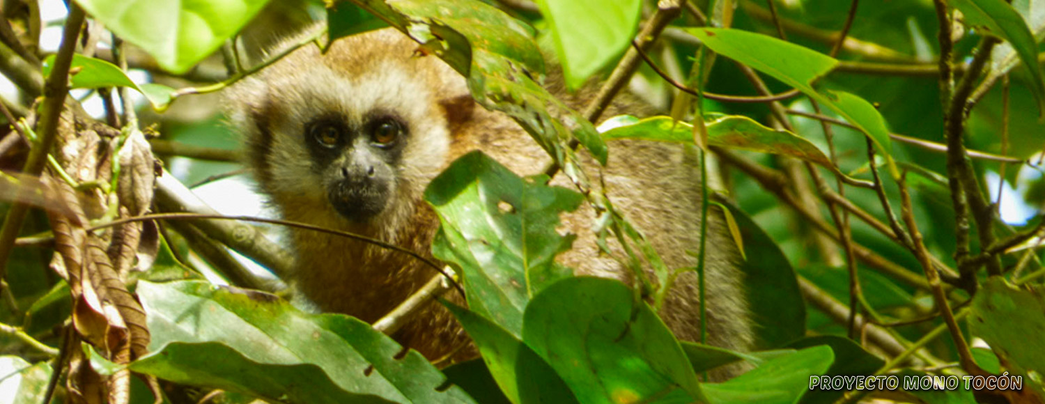 titi monkey in amazonian peruvian forest